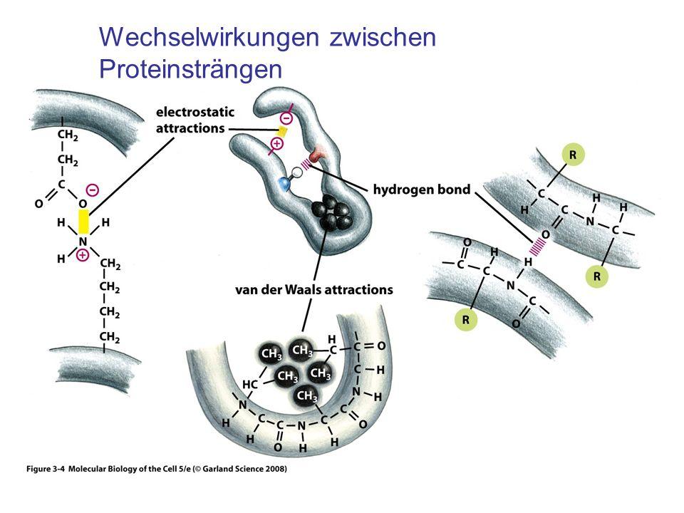 Wechselwirkungen zwischen Proteinsträngen