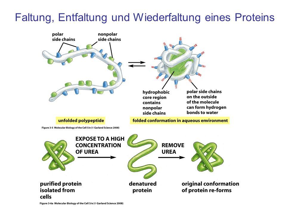 Faltung, Entfaltung und Wiederfaltung eines Proteins