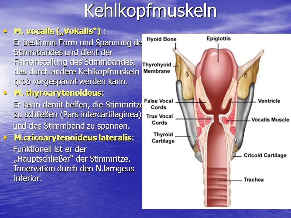 "Kehlkopfmuskeln M. vocalis (""Vokalis ) :"