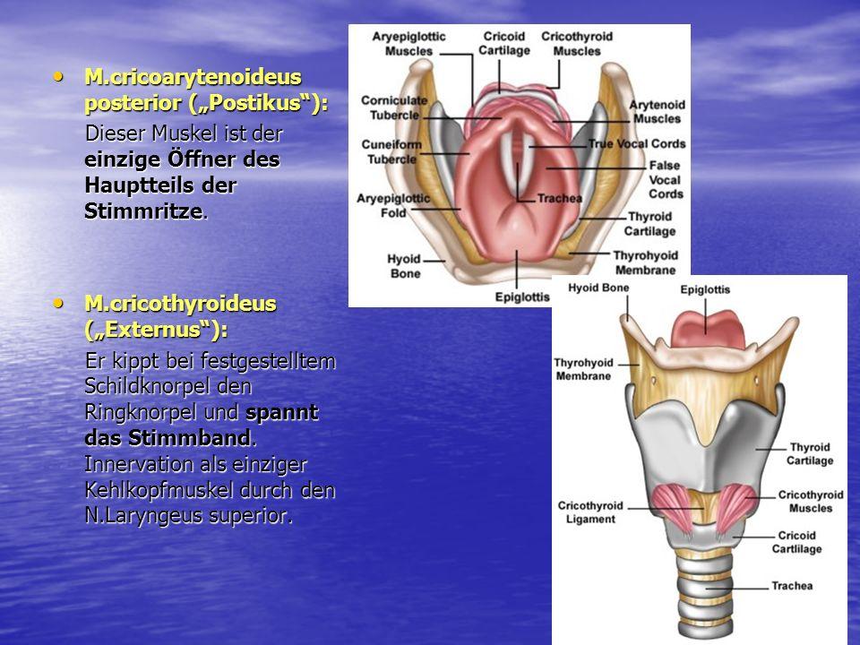 "M.cricoarytenoideus posterior (""Postikus ):"