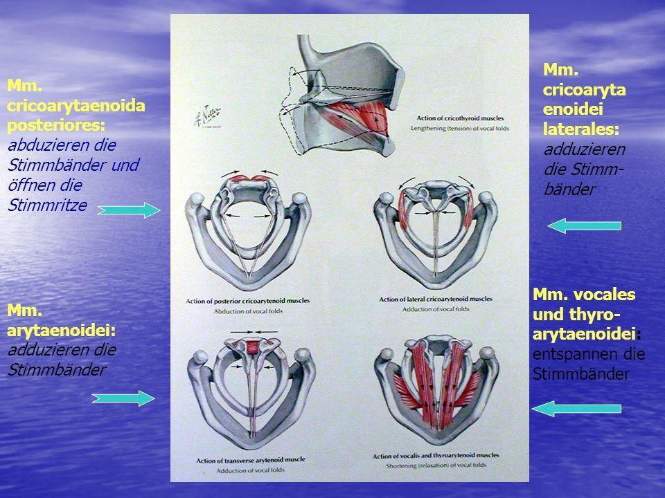 Mm. cricoarytaenoidei laterales: adduzieren die Stimm-bänder