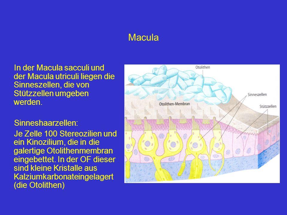 Macula In der Macula sacculi und der Macula utriculi liegen die Sinneszellen, die von Stützzellen umgeben werden.