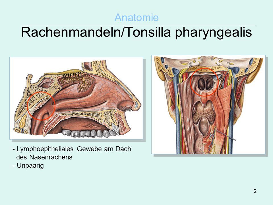 Anatomie Rachenmandeln/Tonsilla pharyngealis