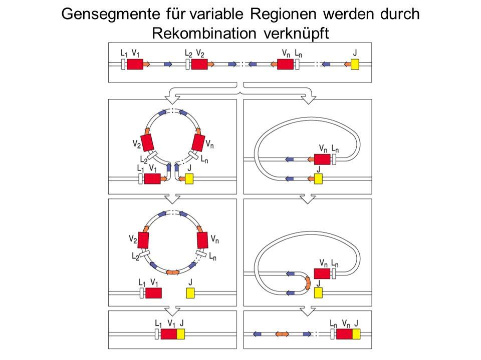 Gensegmente für variable Regionen werden durch Rekombination verknüpft