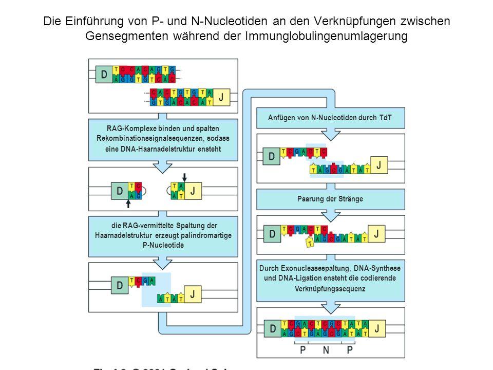 Anfügen von N-Nucleotiden durch TdT