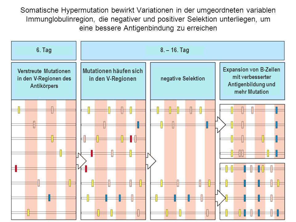 Somatische Hypermutation bewirkt Variationen in der umgeordneten variablen Immunglobulinregion, die negativer und positiver Selektion unterliegen, um eine bessere Antigenbindung zu erreichen