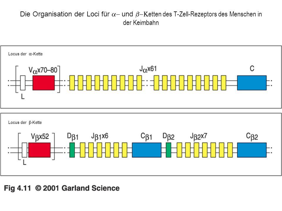 Die Organisation der Loci für a- und b-Ketten des T-Zell-Rezeptors des Menschen in der Keimbahn