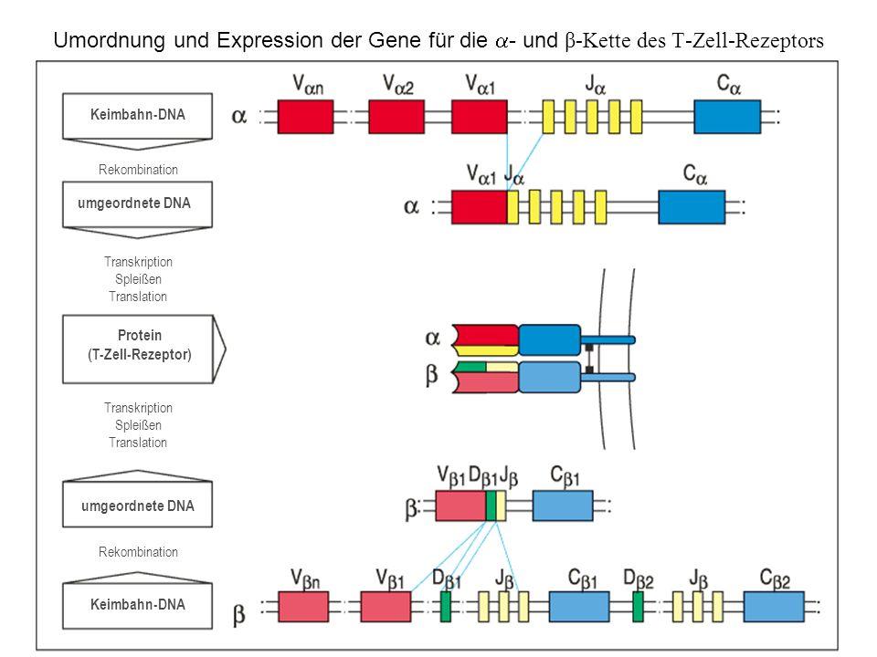 Protein (T-Zell-Rezeptor)