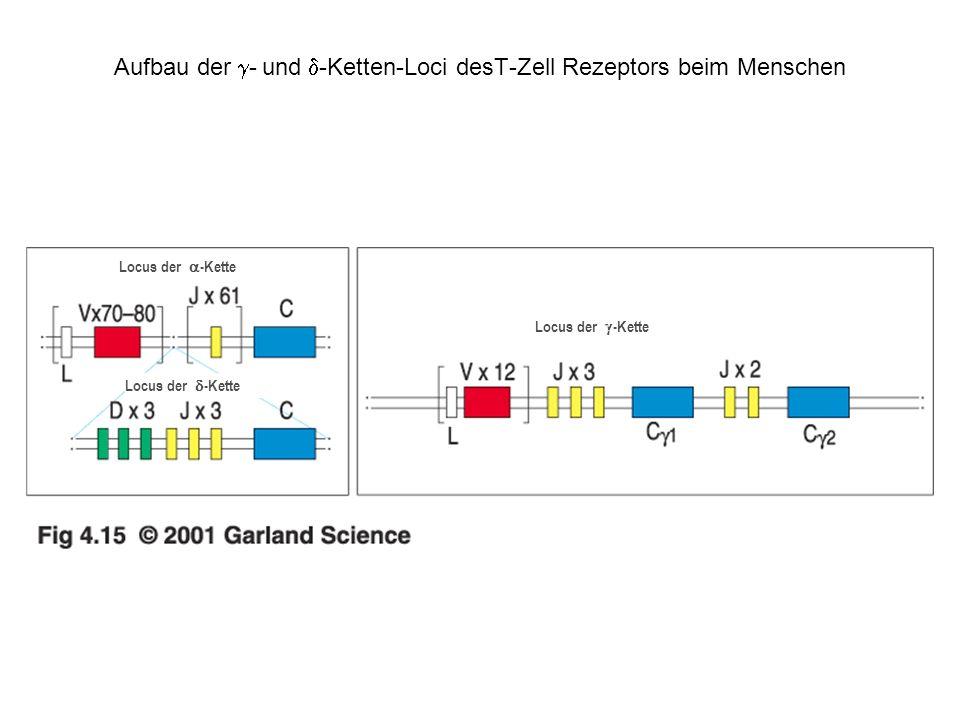 Aufbau der g- und d-Ketten-Loci desT-Zell Rezeptors beim Menschen