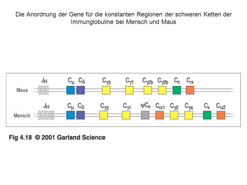 Die Anordnung der Gene für die konstanten Regionen der schweren Ketten der Immunglobuline bei Mensch und Maus