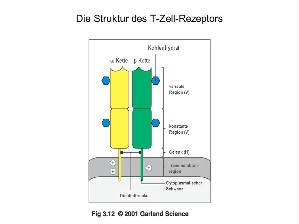 Die Struktur des T-Zell-Rezeptors