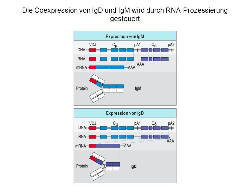 Die Coexpression von IgD und IgM wird durch RNA-Prozessierung gesteuert