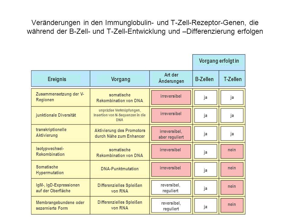 Veränderungen in den Immunglobulin- und T-Zell-Rezeptor-Genen, die während der B-Zell- und T-Zell-Entwicklung und –Differenzierung erfolgen