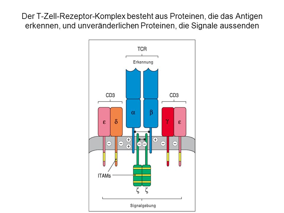 Der T-Zell-Rezeptor-Komplex besteht aus Proteinen, die das Antigen erkennen, und unveränderlichen Proteinen, die Signale aussenden