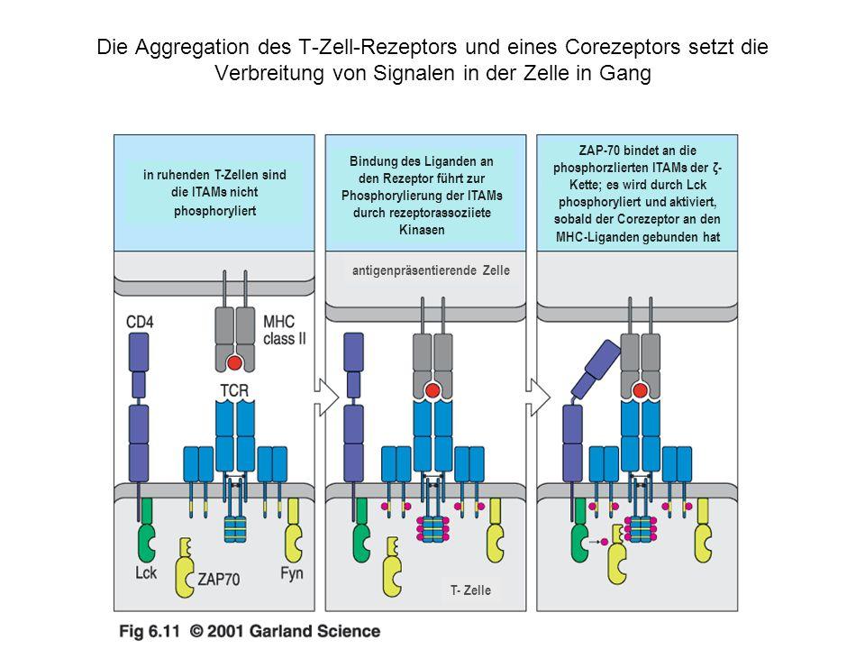 in ruhenden T-Zellen sind die ITAMs nicht phosphoryliert