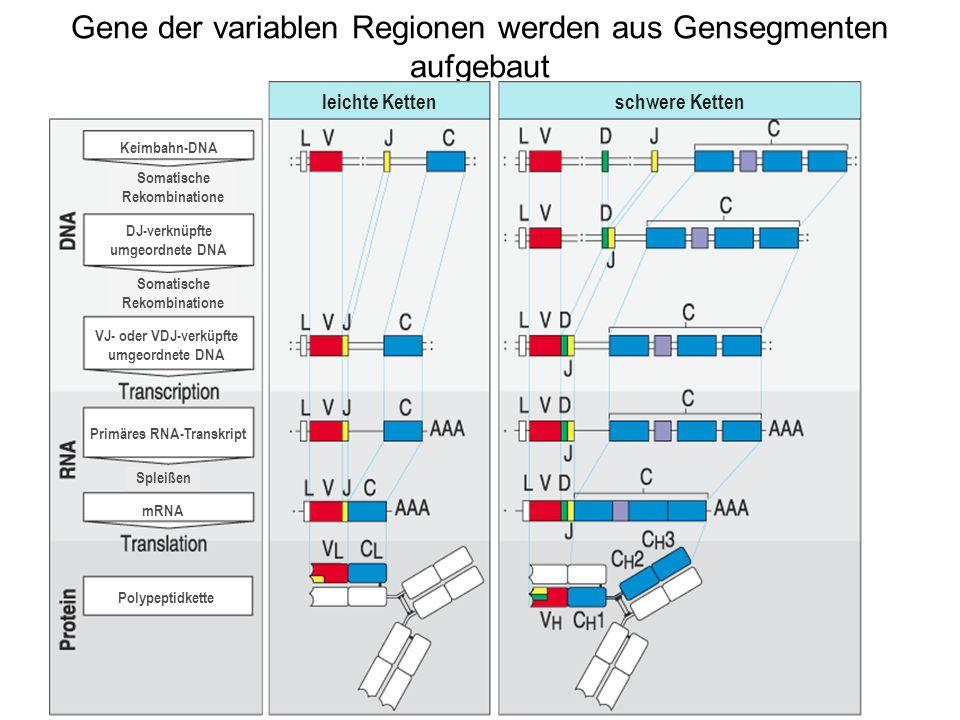 Gene der variablen Regionen werden aus Gensegmenten aufgebaut