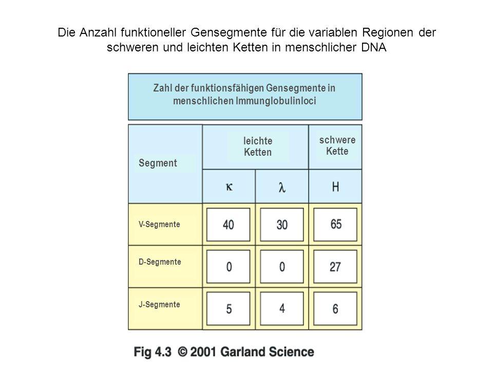 Die Anzahl funktioneller Gensegmente für die variablen Regionen der schweren und leichten Ketten in menschlicher DNA