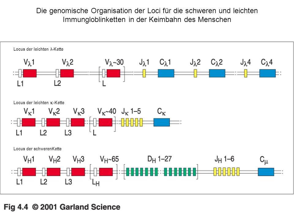 Die genomische Organisation der Loci für die schweren und leichten Immungloblinketten in der Keimbahn des Menschen