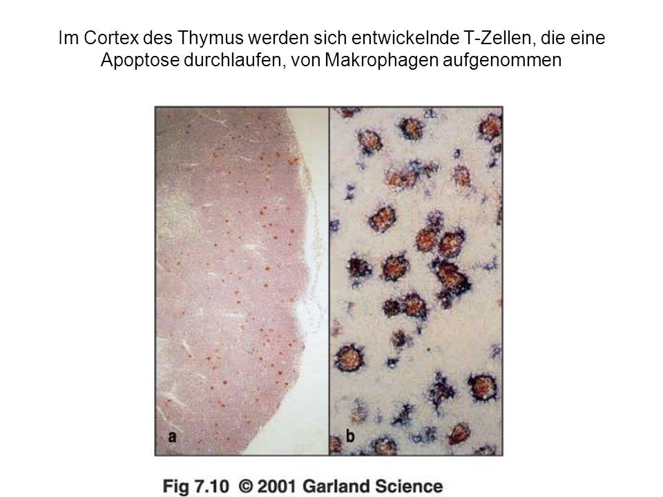 Im Cortex des Thymus werden sich entwickelnde T-Zellen, die eine Apoptose durchlaufen, von Makrophagen aufgenommen