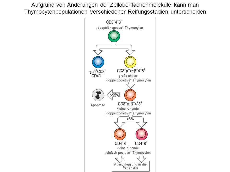 Aufgrund von Änderungen der Zelloberflächenmoleküle kann man Thymocytenpopulationen verschiedener Reifungsstadien unterscheiden