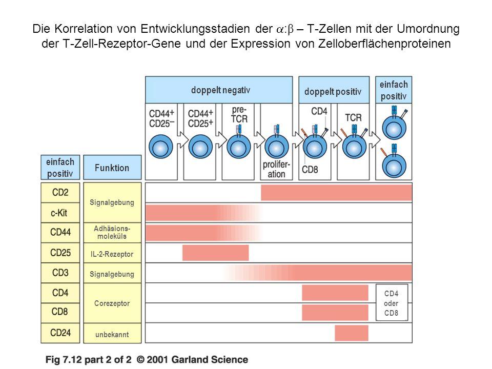 Die Korrelation von Entwicklungsstadien der :β – T-Zellen mit der Umordnung der T-Zell-Rezeptor-Gene und der Expression von Zelloberflächenproteinen