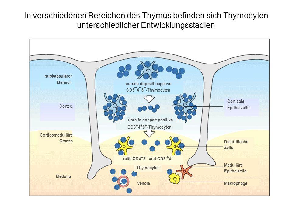 unreife doppelt negative CD3¯4¯8¯-Thymocyten unreife doppelt positive