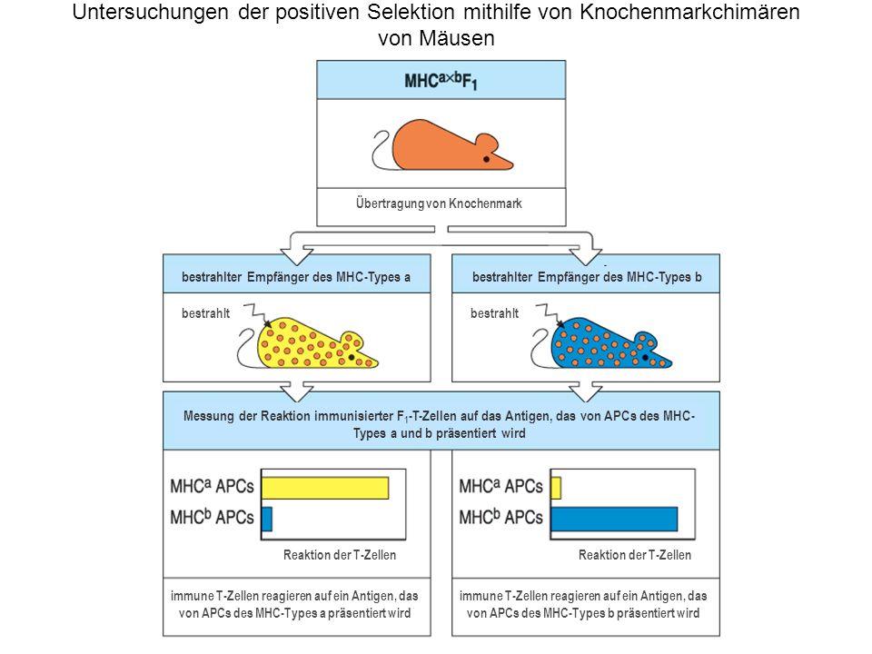 Untersuchungen der positiven Selektion mithilfe von Knochenmarkchimären von Mäusen