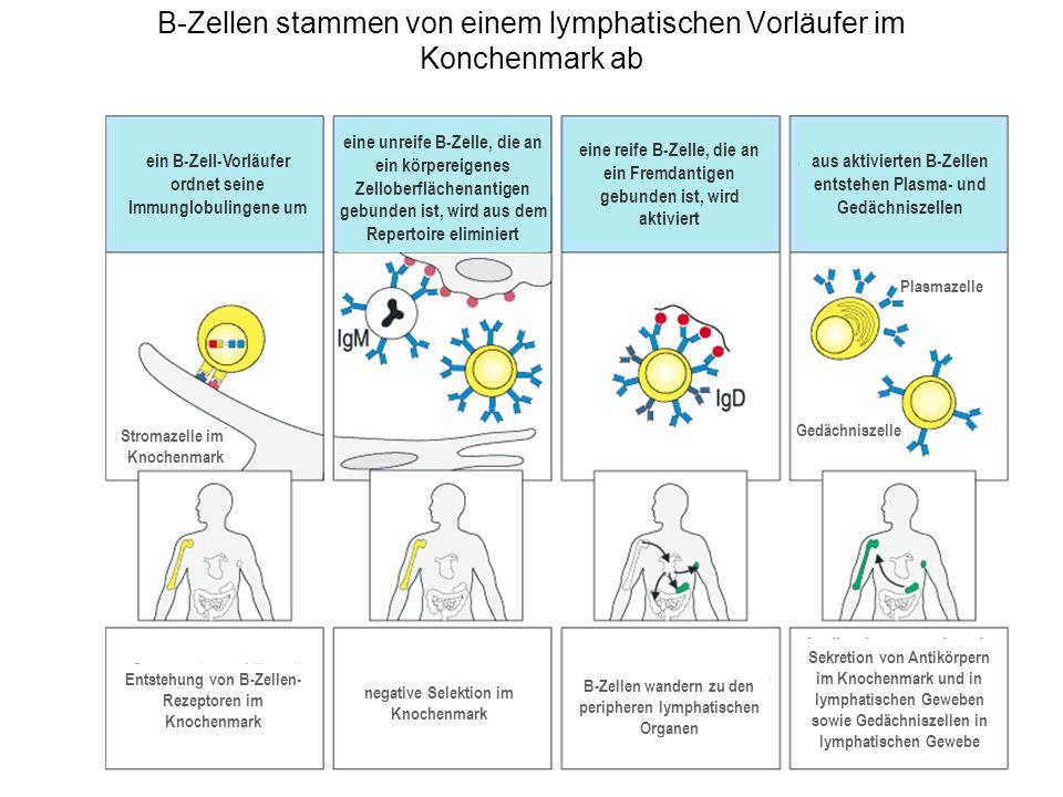 B-Zellen stammen von einem lymphatischen Vorläufer im Konchenmark ab