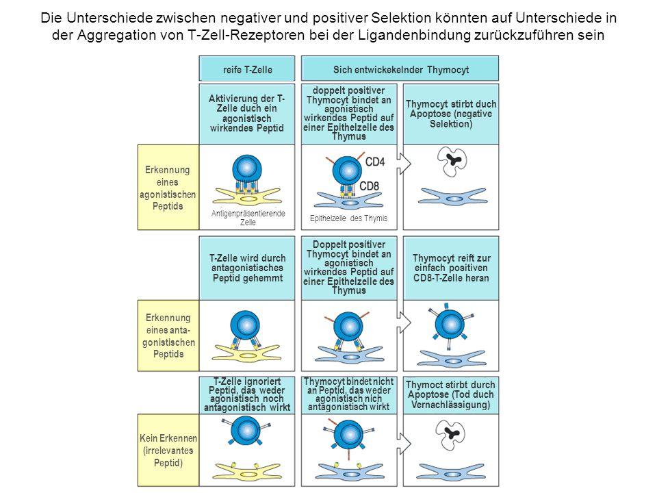 Die Unterschiede zwischen negativer und positiver Selektion könnten auf Unterschiede in der Aggregation von T-Zell-Rezeptoren bei der Ligandenbindung zurückzuführen sein