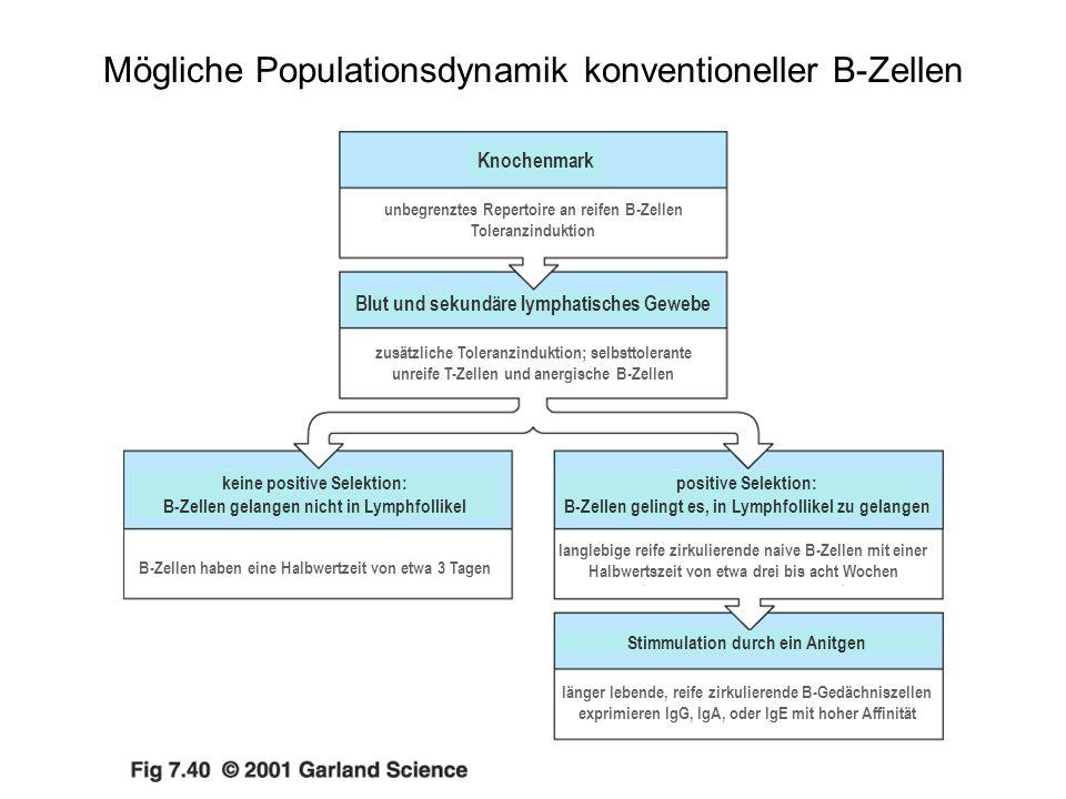 Mögliche Populationsdynamik konventioneller B-Zellen