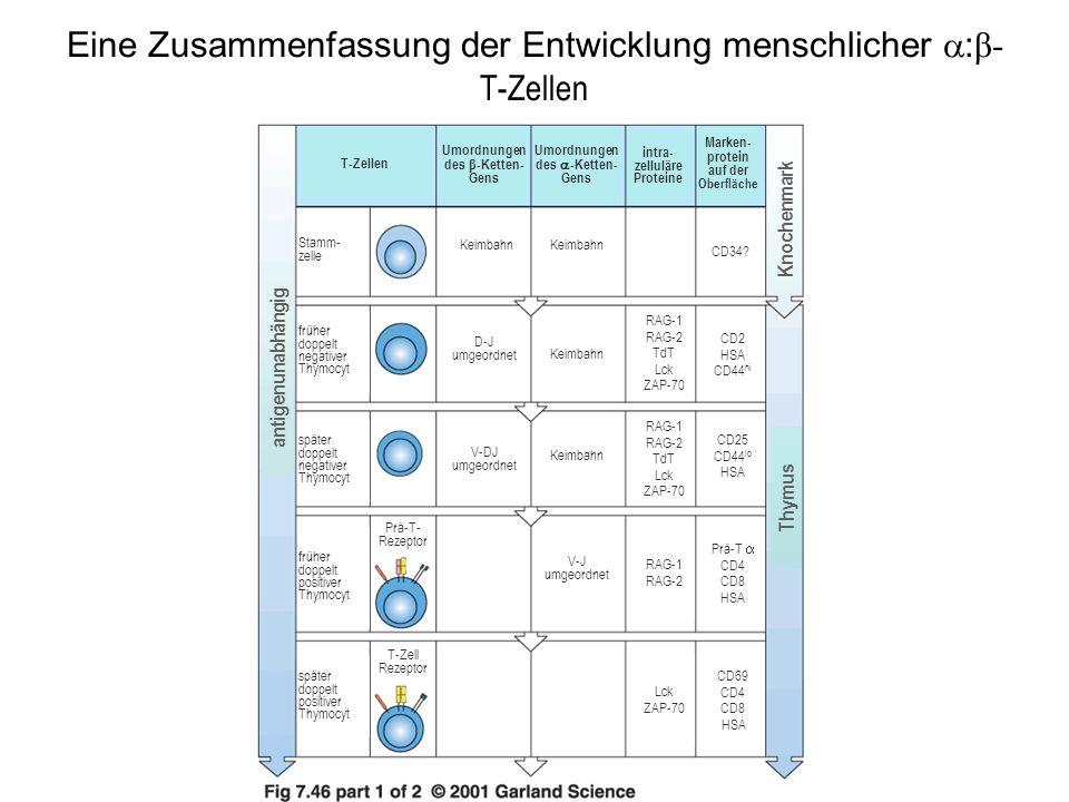 Eine Zusammenfassung der Entwicklung menschlicher :β-T-Zellen