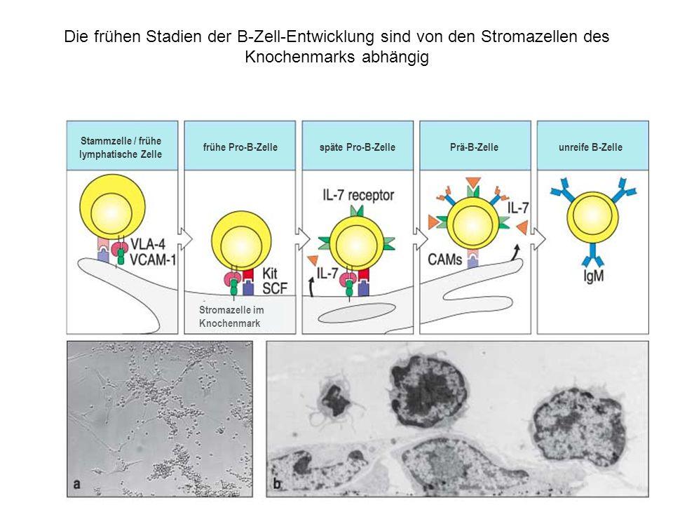 Stammzelle / frühe lymphatische Zelle