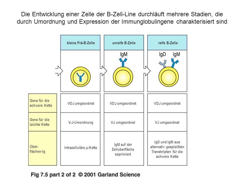 Intrazelluläre μ-Kette IgM auf der Zelloberfläche exprimiert