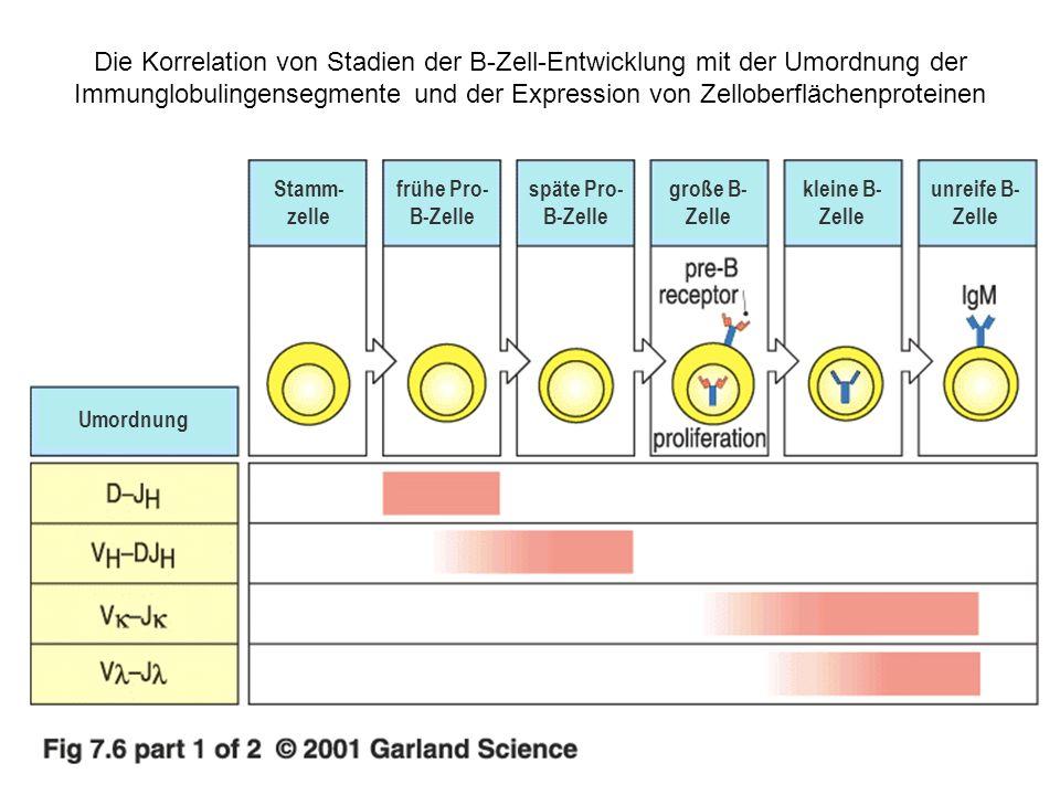 Die Korrelation von Stadien der B-Zell-Entwicklung mit der Umordnung der Immunglobulingensegmente und der Expression von Zelloberflächenproteinen