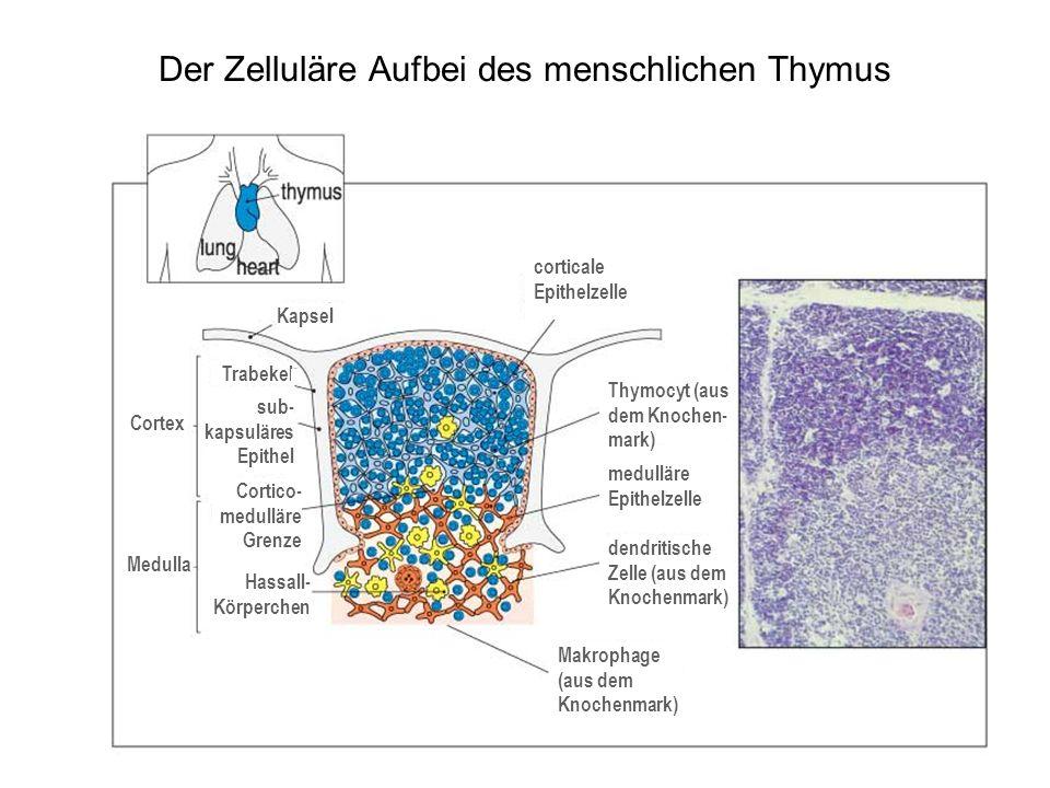Der Zelluläre Aufbei des menschlichen Thymus