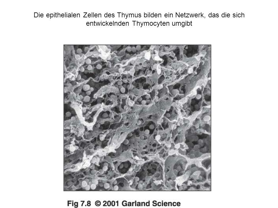 Die epithelialen Zellen des Thymus bilden ein Netzwerk, das die sich entwickelnden Thymocyten umgibt