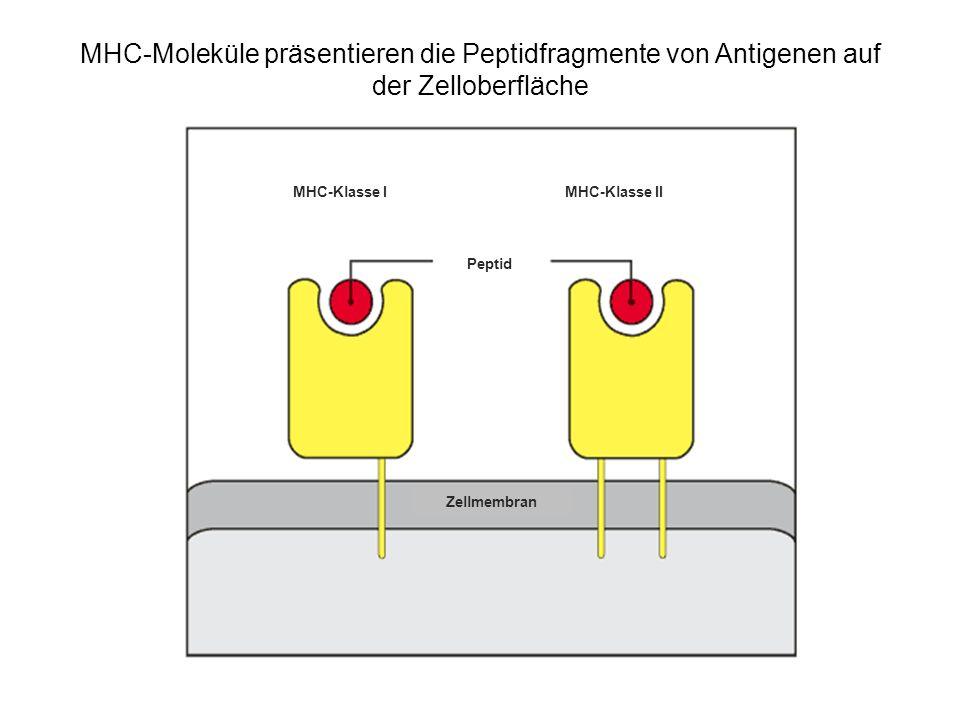 MHC-Moleküle präsentieren die Peptidfragmente von Antigenen auf der Zelloberfläche