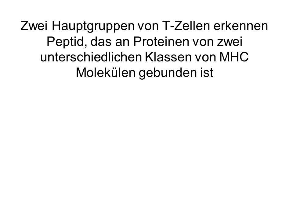 Zwei Hauptgruppen von T-Zellen erkennen Peptid, das an Proteinen von zwei unterschiedlichen Klassen von MHC Molekülen gebunden ist