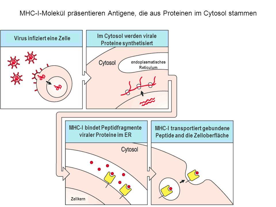 MHC-I-Molekül präsentieren Antigene, die aus Proteinen im Cytosol stammen