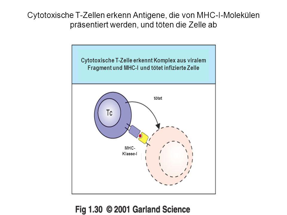 Cytotoxische T-Zellen erkenn Antigene, die von MHC-I-Molekülen präsentiert werden, und töten die Zelle ab