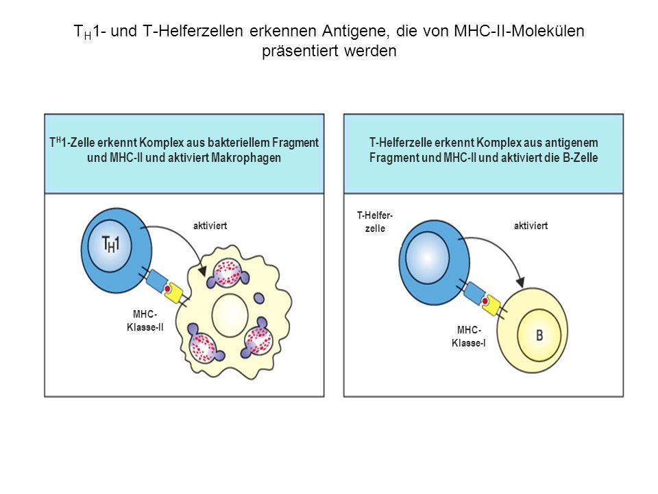 TH1- und T-Helferzellen erkennen Antigene, die von MHC-II-Molekülen präsentiert werden
