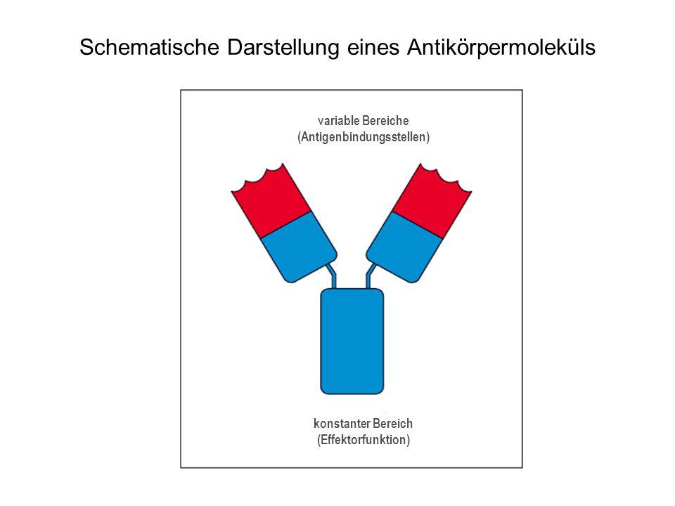 Schematische Darstellung eines Antikörpermoleküls