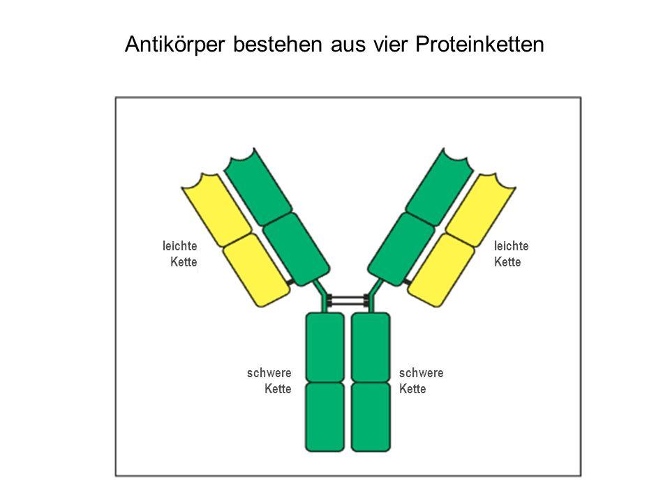 Antikörper bestehen aus vier Proteinketten