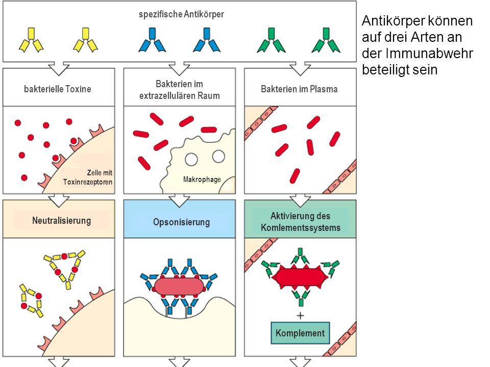 Antikörper können auf drei Arten an der Immunabwehr beteiligt sein