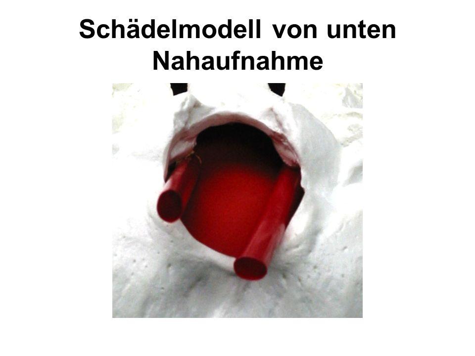 Schädelmodell von unten Nahaufnahme