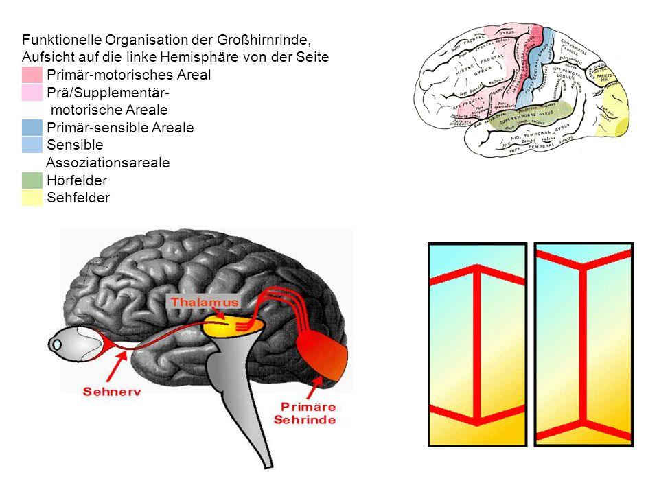 Funktionelle Organisation der Großhirnrinde,