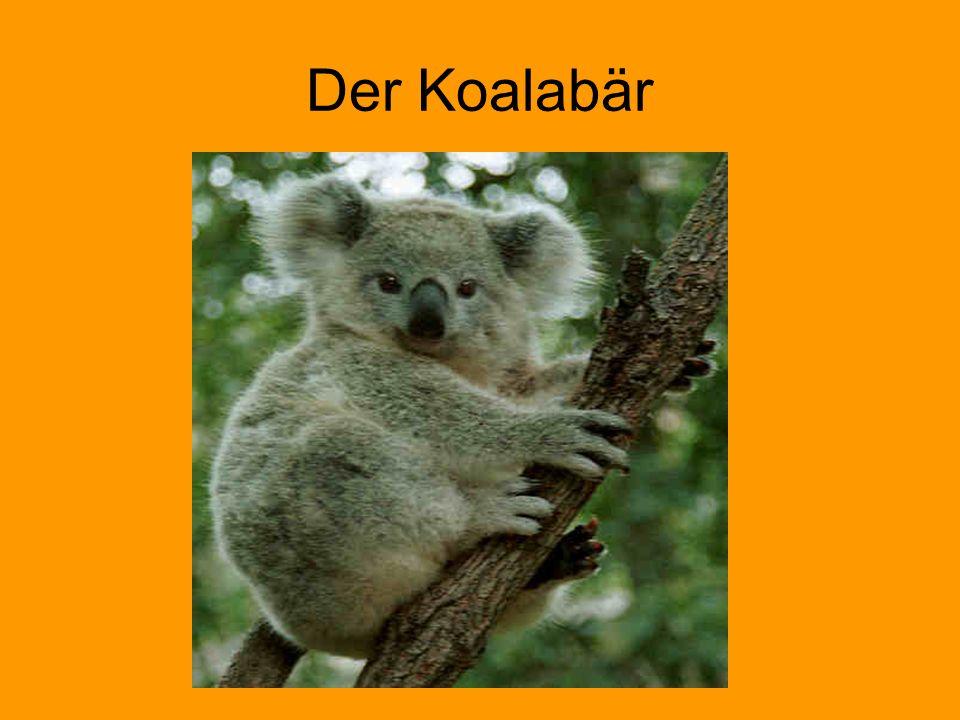 Der Koalabär
