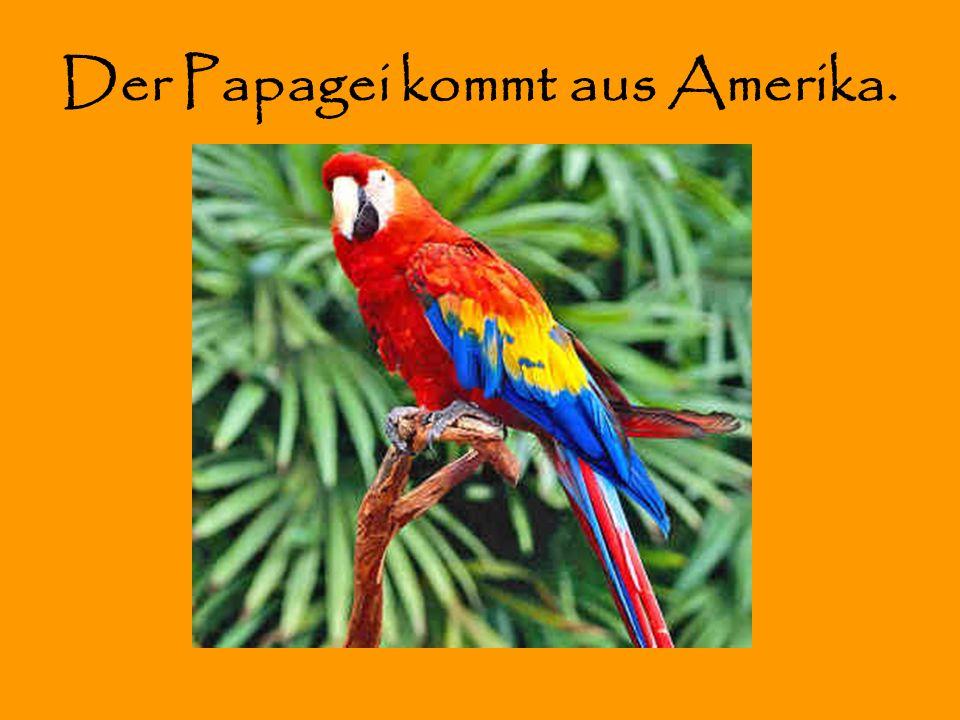 Der Papagei kommt aus Amerika.