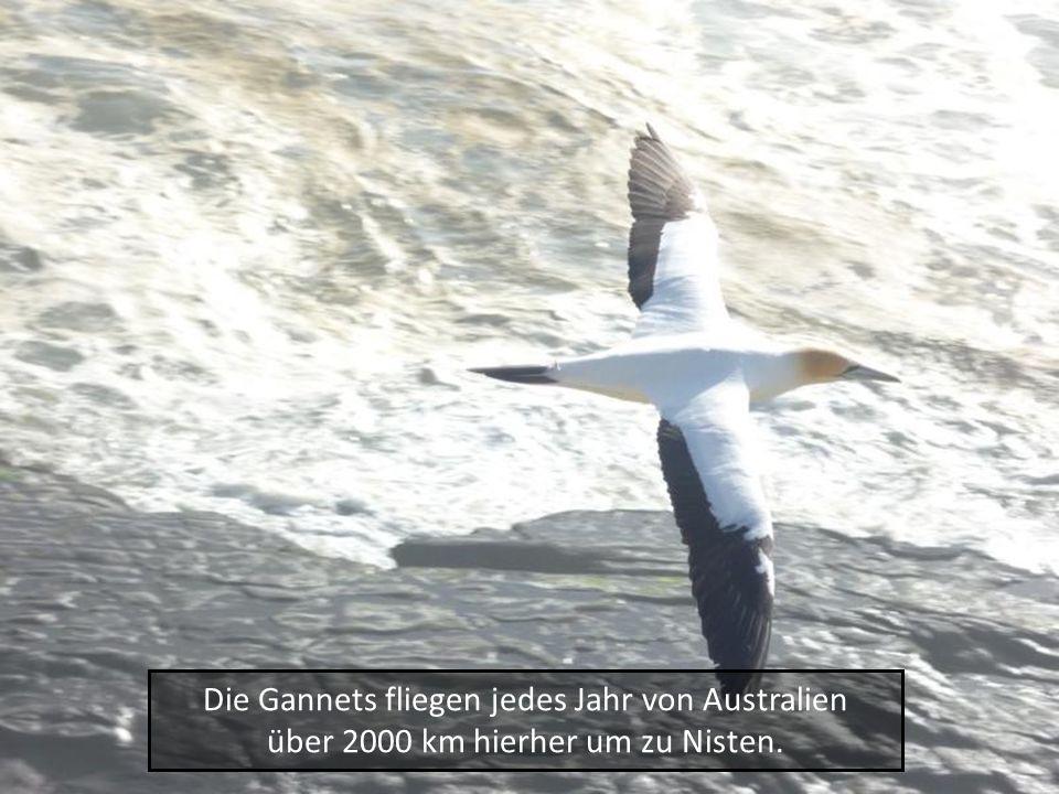 Die Gannets fliegen jedes Jahr von Australien über 2000 km hierher um zu Nisten.