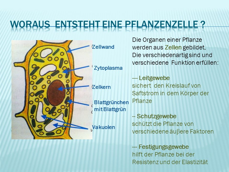 Woraus entsteht eine Pflanzenzelle
